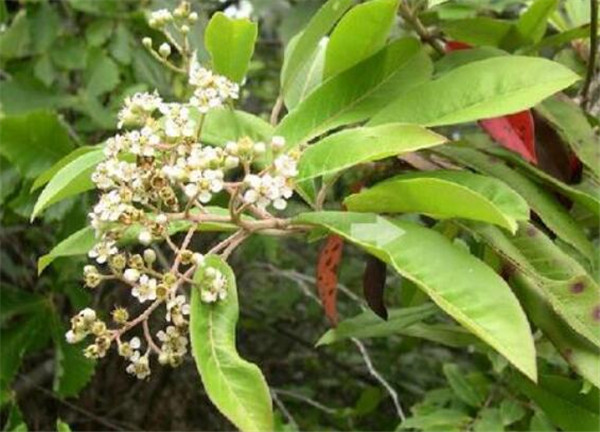 光叶石楠和红叶石楠的区别 光叶石楠的园林应用