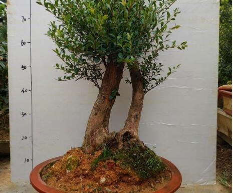 小叶石楠盆景怎么养 小叶石楠的养护与管理