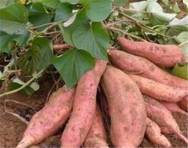 甘薯是什么 甘薯苗床出现卷叶怎么办