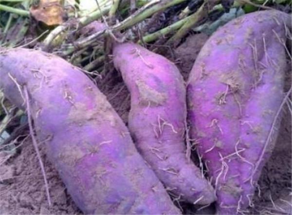 紫甘薯图片价格多少钱一斤 紫甘薯和紫薯的区别
