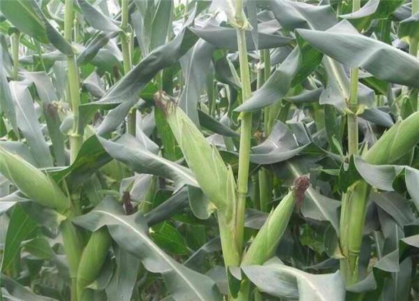 山东最新玉米价格 今日玉米价格每吨涨千元是真的吗