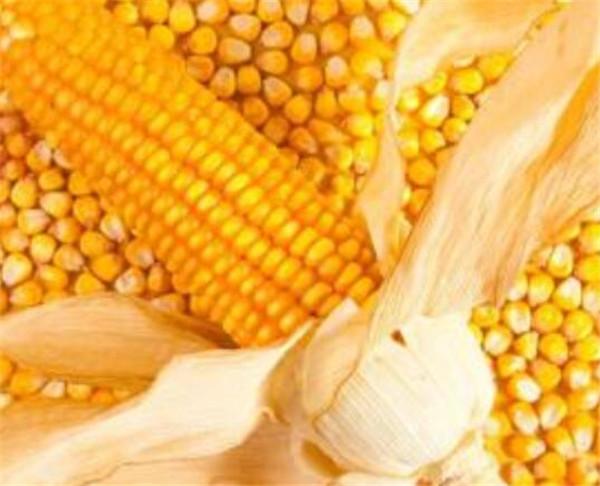 玉米靠什么传播种子 玉米种植技术