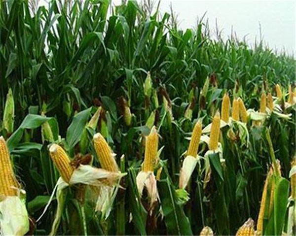 世界上生产玉米最多的国家是 玉米亩产量是多少