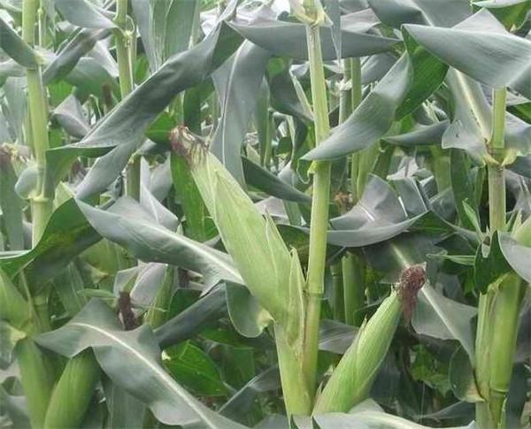 转基因玉米吃了对身体有害吗 转基因玉米的鉴别方法