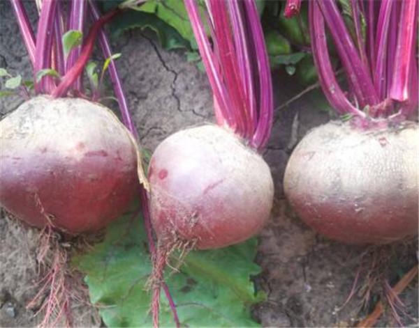 甜菜根的图片和功效 甜菜根怎么吃