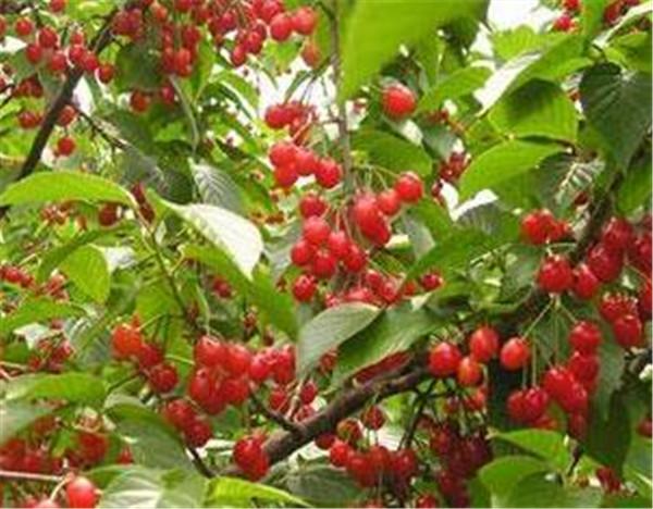 樱桃树的管理 樱桃树嫁接几年结果