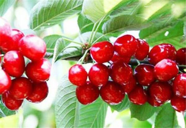 吃樱桃的好处有哪些 孕妇能可以吃樱桃吗