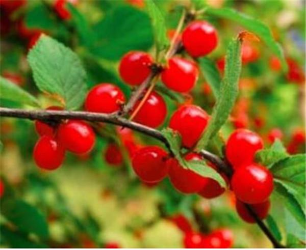 山樱桃的功效与作用 野樱桃与毛樱桃的区别