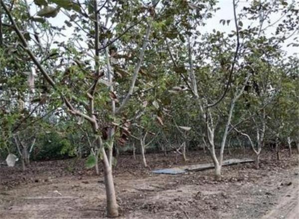 麻核桃树苗多少钱 麻核桃种植技术