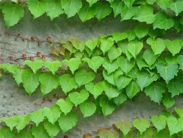 爬山虎的特点有哪些 爬山虎种植技术