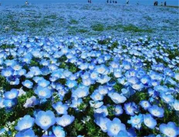粉蝶花的花语是什么 粉蝶花怎么种