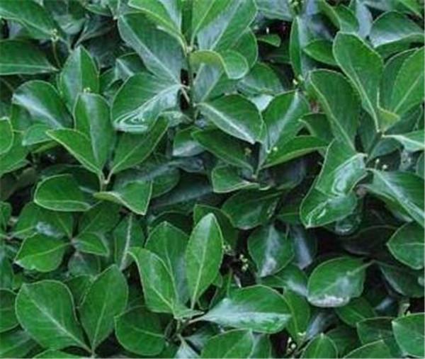 小叶黄杨和大叶黄杨的区别 金边大叶黄杨园林用途