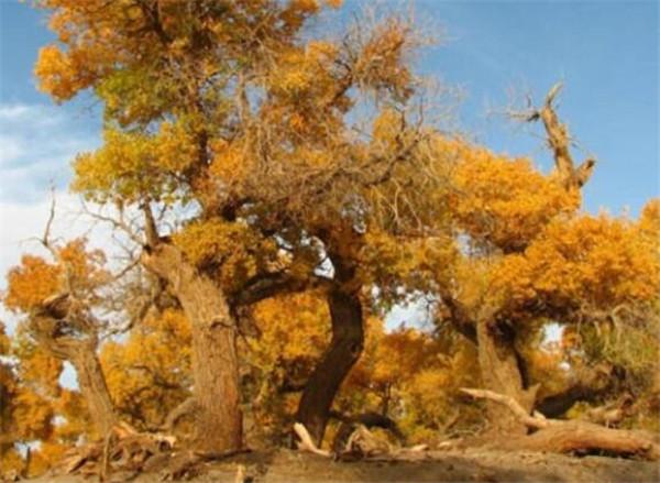 沙漠树种有哪些 沙漠树木种植技术