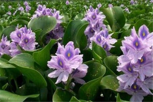 水葫芦是什么植物 水葫芦和水芙蓉哪个更好养