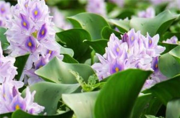 水葫芦的危害有哪些 水葫芦的天敌是什么