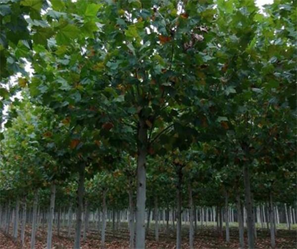 法桐12公分多少钱一棵 法桐的种植要点