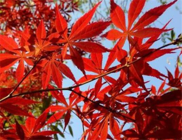 红枫与鸡爪槭的区别 鸡爪槭小苗图片价格