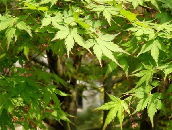 红叶鸡爪槭盆景怎么养 鸡爪槭品种有哪些