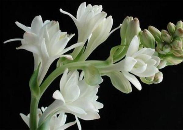 晚香玉是什么味道 晚香玉的花语和寓意