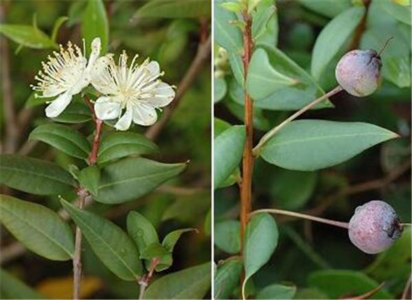 香桃木耐寒多少度 香桃木精油的功效与作用