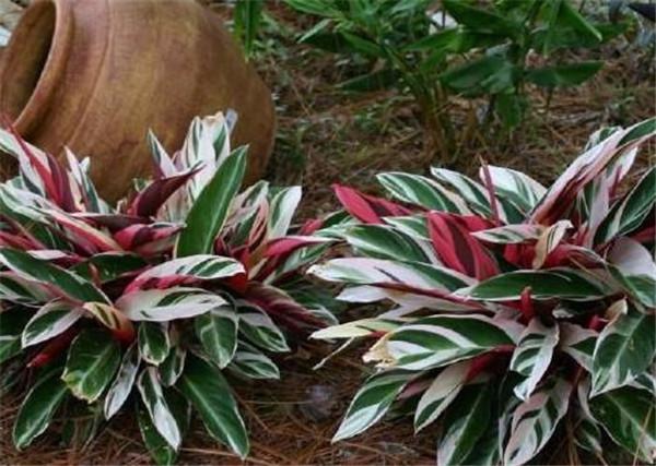 紫背竹芋的寓意风水 紫背竹芋叶子卷起来了怎么办