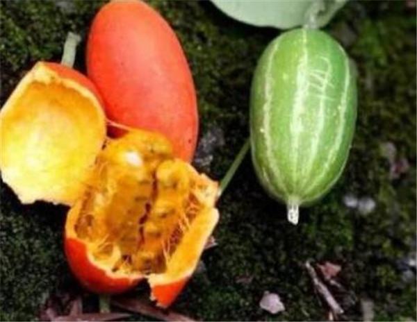 王瓜的功效与作用 王瓜种植方法