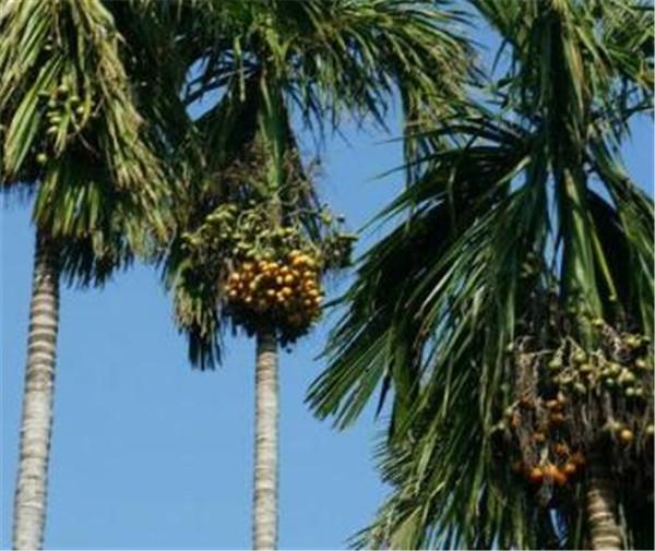 槟榔树种植技术 海南槟榔多少钱一斤