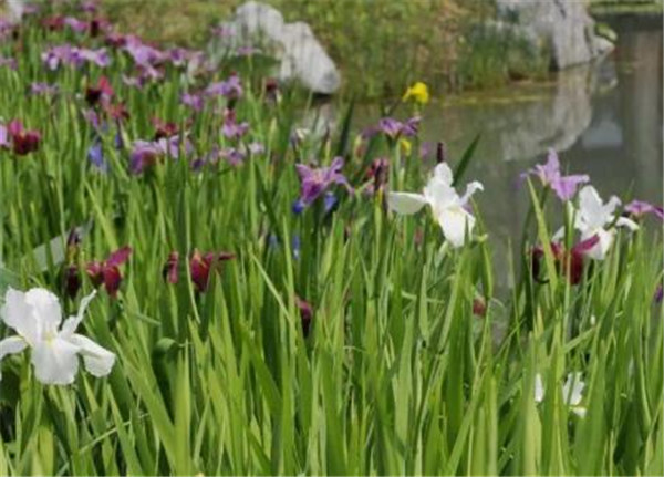 水生观赏植物图片及名称 水生观赏植物的利用价值有哪些