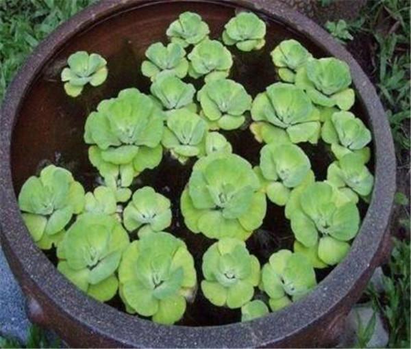 大叶水生观赏植物有哪些 哪些室内水生植物好养