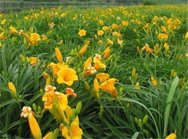 黄花菜种苗多少钱一株 种黄花菜一年一亩利润赚多少钱