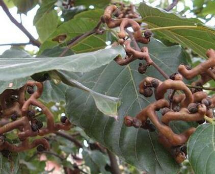 细叶牛奶树根的药用功效 牛乳树茎作用与吃法