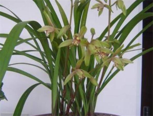 兰花建兰浇水的正确方法 建兰品种有哪些