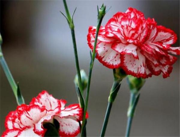 康乃馨盆栽什么时候浇水 康乃馨几天换一次水