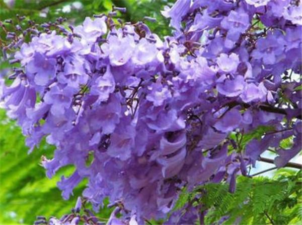 蓝花楹花期什么时候开花 蓝花楹的花语寓意