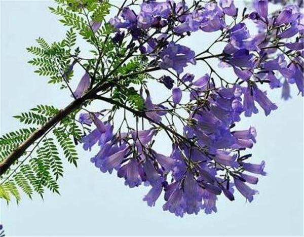 蓝花楹适合在哪里种植 凤凰木和蓝花楹哪个好看