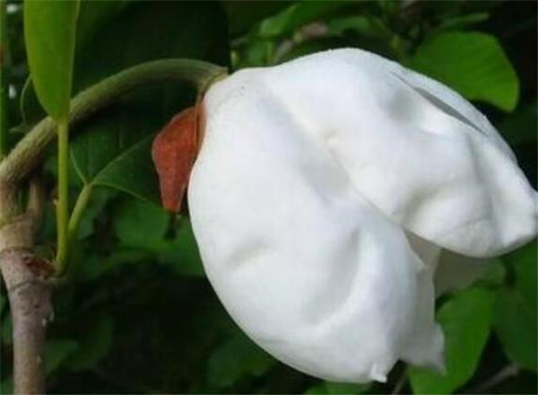天女木兰花什么时候开花图片 天女木兰花功效与作用