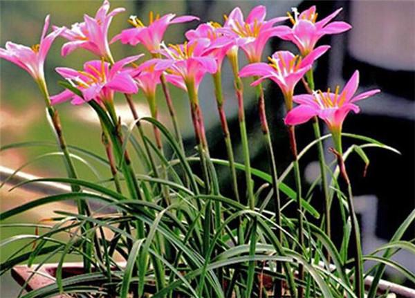 葱兰繁殖方法有哪些 葱兰一年开几次花