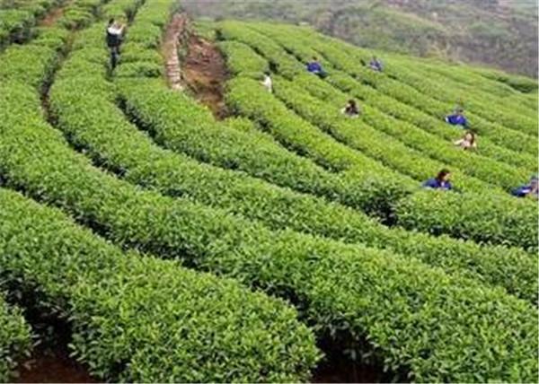 云南普洱茶种植技术 云南普洱茶如何采摘