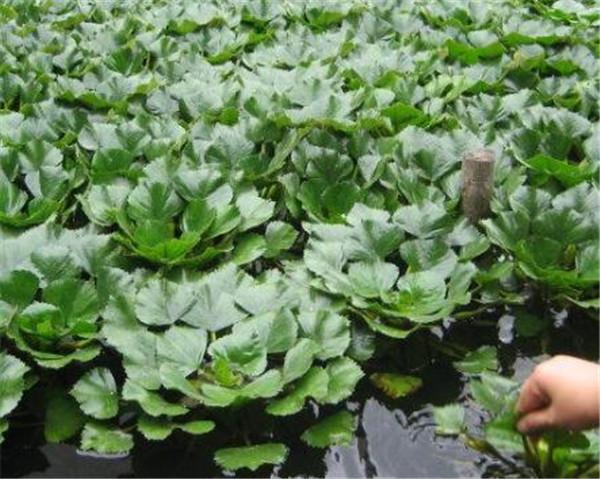 菱角生长在什么地方 菱角直接放水里就可以种植吗