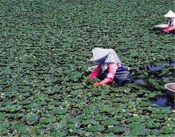 种植菱角需要多深的水 菱角种植每亩成本