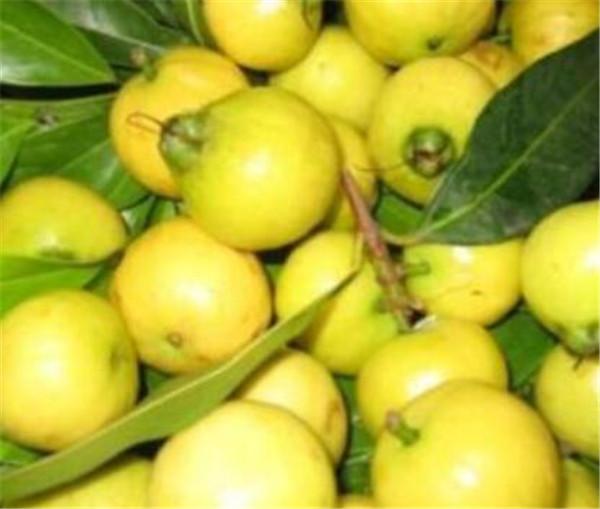 蒲桃果什么时候成熟 蒲桃与莲雾的区别
