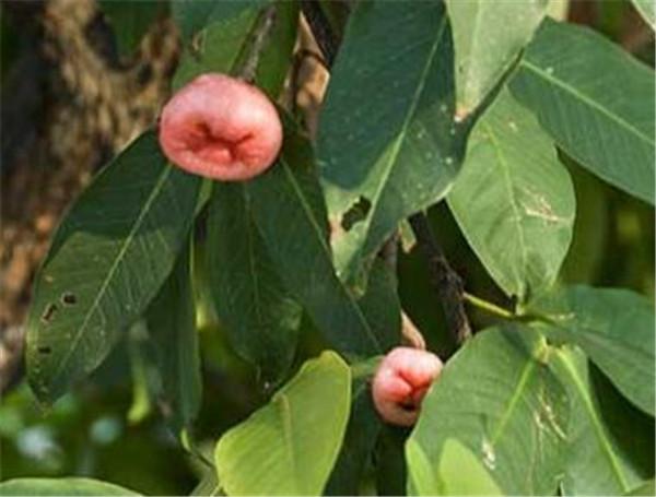 洋蒲桃能直接吃吗 女人为什么不能吃莲雾