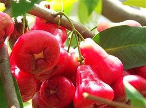 洋蒲桃是热性还是凉性 洋蒲桃种植技术