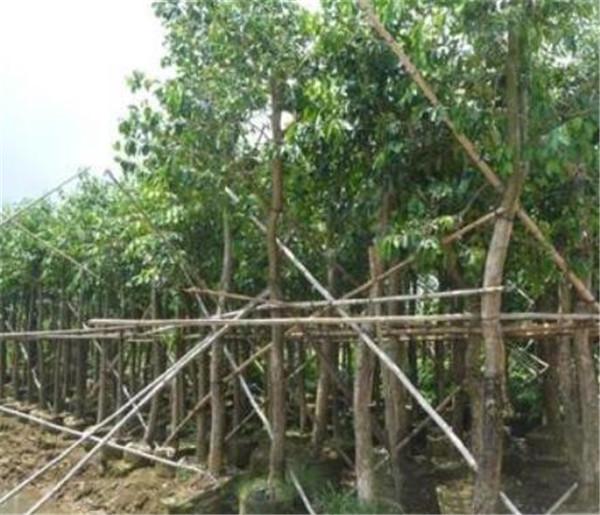 海南蒲桃树是什么样的 海南蒲桃树种植技术