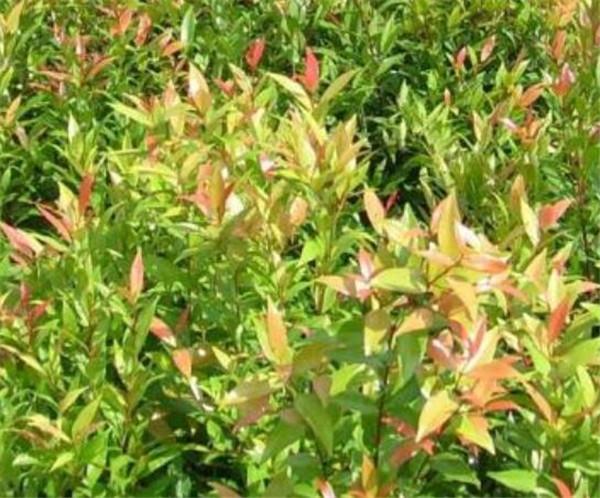 红枝蒲桃的花语是什么 红枝蒲桃的生长环境