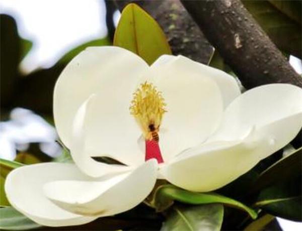 荷花玉兰和广玉兰的区别 荷花玉兰树多少钱一棵