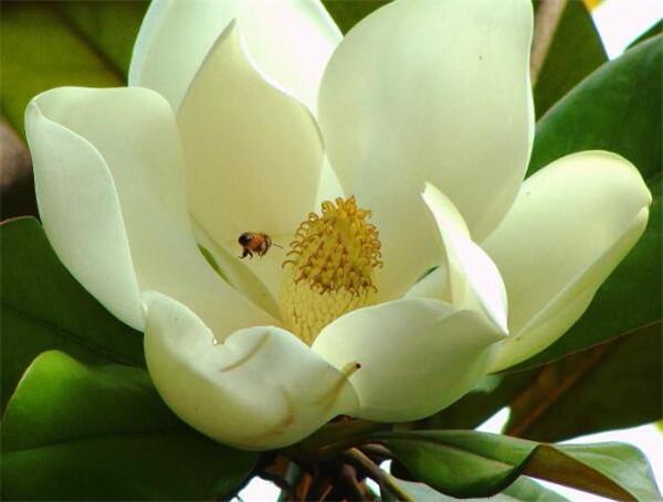 荷花玉兰寓意和象征 荷花玉兰的种植方法
