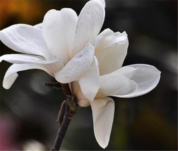 玉兰花的寓意和花语 玉兰花的功效作用