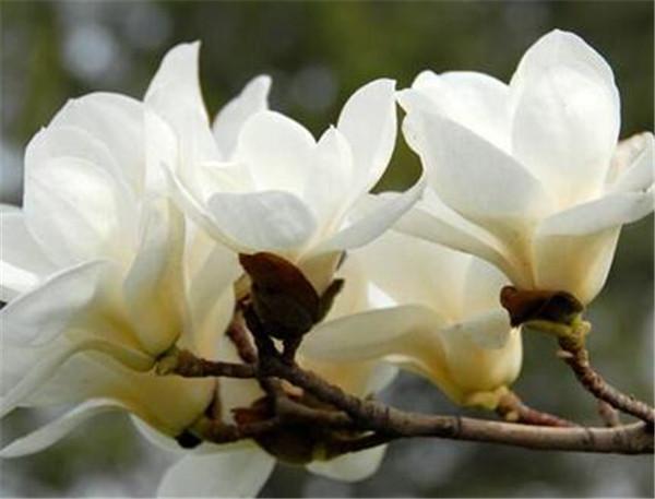 玉兰花的特点是什么 玉兰花像什么比喻句