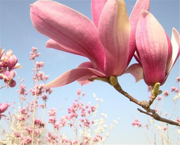 玉兰花树的风水禁忌 玉兰枝条能水养吗